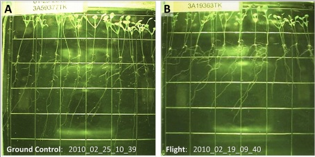 Plants on orbit grew more slowly than comparable ground controls