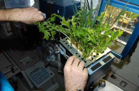 Barley in a root tray from the Lada greenhouse. Image credit NASA